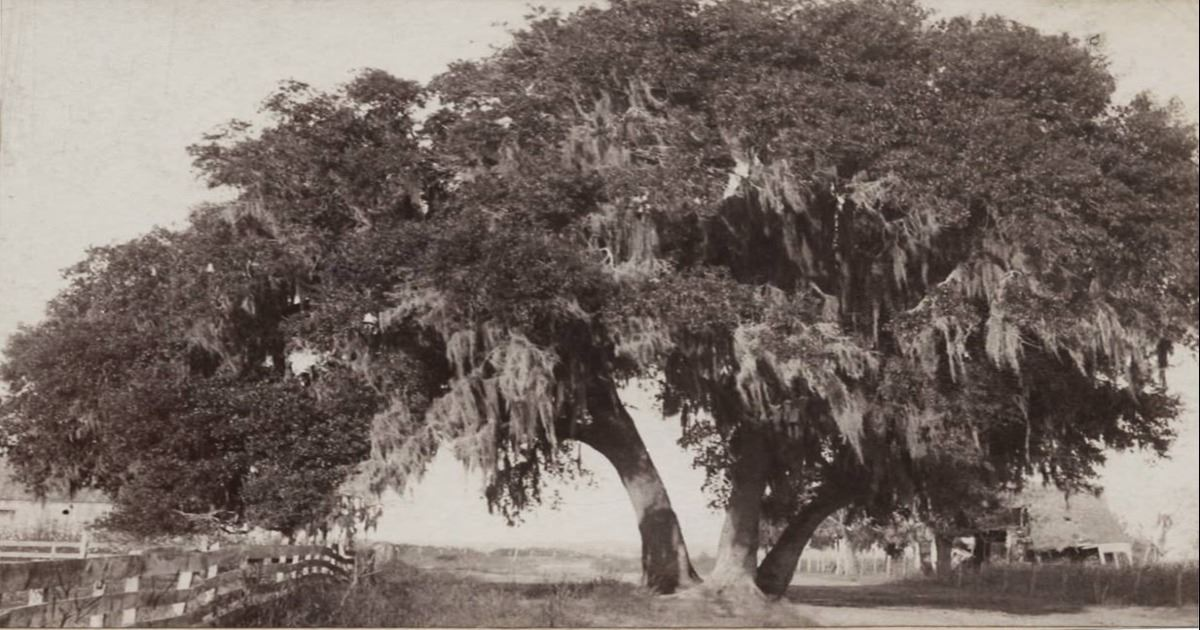 1897 Independence Tree, Declaration of Independence was first read